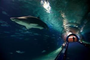 Das Bild zeigt einen Hai im Röhrenartigen Durchgang im Aquarium in Valencia. Valencia hat ein Aquarium